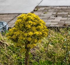 Aeonium in bloom 2 (randyherring) Tags: california ca flowers plant tree green yellow us succulent afternoon unitedstates outdoor bricks sidewalk bloom losgatos aeonium