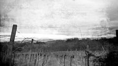 Vineyard (Arctic2009) Tags: vineyard pruning viti brda vinograd collio trte obrezovanje vingeto