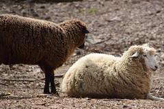 82. Nursery Rhyme - 116 pictures in 2016 (Krasivaya Liza) Tags: animals ga georgia children sheep farms 82 palmetto nurseryrhyme serenbe 116picturesin2016