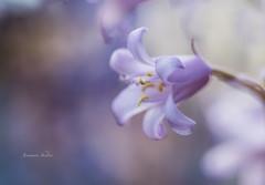 Bell (jeanmarie shelton) Tags: flower macro nature closeup flora nikon dof purple bokeh lavender upclose jeanmarie jeanmarieshelton