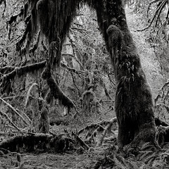 The weight of the world (that analogue guy) Tags: trees washington moss 11 d76 bronica 400 hp5 olympics heavy olympicnationalpark ilford hohrainforest sqai hallofmosses zenzanon80mmf28ps beingslowlypulleddown