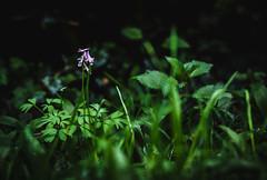 Light from above (simonpe86) Tags: plant flower green nature beautiful grass contrast forest purple natur pflanze sharp gras grn blume kontrast wald violett scharf schn