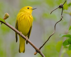 A Yellow Warbler! (evilpigeon777) Tags: philadelphia nature yellow john spring wildlife national buds migration heinz warbler refuge