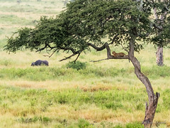 Leopard and Buffalo (davdenic  in the sky ) Tags: africa nature tanzania wildlife safari ngorongoro serengeti savanna savana