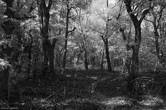 Woods are Bright and Deep! (Ramesh Adkoli) Tags: bw landscape ir blackwhite capturenx gadihalli
