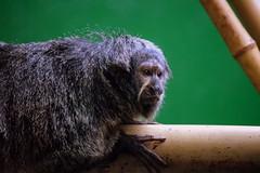 On My Perch (Keith Mac Uidhir  (Thanks for 3.5m views)) Tags: ireland dublin animal zoo monkey irland primate dier animalia tier dublino irlanda irlande capuchin ierland irska dubln irlandia lirlanda irsko  airija irlanti  cng  iirimaa ha     rorszg         rlnd