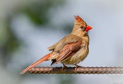 Female Cardinal (Seminole Digital) Tags: bird female cardinal