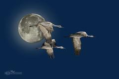 Moon_1 (mikeyasp) Tags: sky moon birds fauna outdoors nebraska cranes avian sandhillcranes