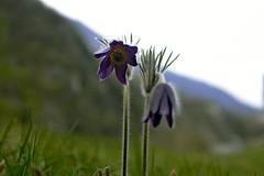 Pasque flower (Andrea D.V.) Tags: mountain flower macro easter nikon pasque vulgaris pulsatilla pulsatillavulgaris 1635mmf4 d800e