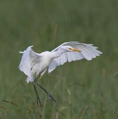Cattle egret 16 (Jim Bendon) Tags: australianbirds cattleegret northqueensland bendon birdsinfilght 800mmf56 bellendenkerr