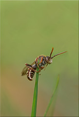 Nomada Sp (Boba Fett3) Tags: macro closeup garden insect outside outdoors wildlife bee canon100mm28l