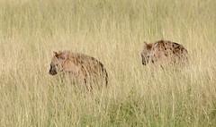 Spotted Hyena (howzey) Tags: africa grass kenya wildlife hyena stalking maasaimara