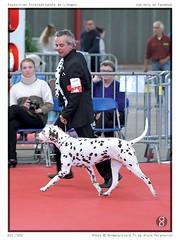 DSC_7183 (animalpicture.fr) Tags: de nikon canine exposition dalmatian internationale centrale limoges d300 2016 dalmatien