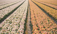 Holland (Rolandito.) Tags: holland netherlands field tulips nederland tulip fields paysbas niederlande