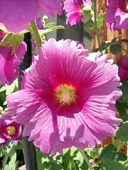Pink burst (Thad Zajdowicz) Tags: cameraphone california pink plant flower color colour green nature mobile closeup outside daylight flora outdoor availablelight cellphone turbo smartphone motorola existinglight aviary android droid southpasadena zajdowicz