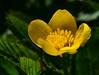 Kingcup (:Linda:) Tags: germany village thuringia yellowflower sumpfdotterblume kingcup brünn