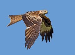 Red Kite  ( milvus mivus ) -  Spotted Something  !! (Mid Glam Sam1) Tags: kite wales inflight raptor spotted alert birdofprey redkite uplands milvusmilvus