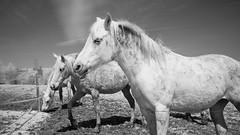 Horses ir (Yasmine Hens) Tags: horses blackandwhite bw animal cheval noiretblanc paysage animaux infrered 720nm infrarouge kolari nikond90 cmapagne