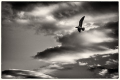 Evening Seagull (Claus Tom) Tags: sky blackandwhite bw cloud weather clouds copenhagen denmark evening seagull border cph toned kbenhavn toning