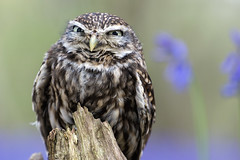 Yeah?  You and whose army? (hehaden) Tags: wood bluebells surrey owl bwc littleowl athenenoctua lingfield britishwildlifecentre sel70200g
