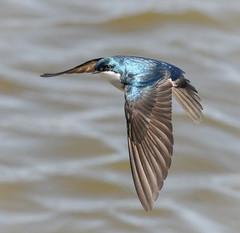 The Marvel of Flight. (tresed47) Tags: philadelphia birds us pennsylvania content places swallow folder takenby treeswallow 2016 johnheinznwr peterscamera petersphotos canon7d 201603mar 20160329johnheinzbirds