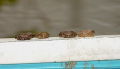 Four Baby Frogs (hardmile) Tags: baby nature water beauty creek forest outdoors babies wildlife magic amphibian frog frogs amphibians