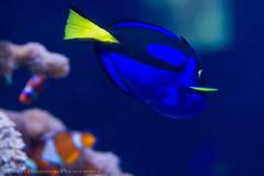 Blue Tang (Dory) (Scott Kwiecinski Photography) Tags: blue fish beach aquarium myrtlebeach southcarolina myrtle dory tang bluetang ripleyaquarium ripleysaquarium