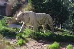 DSC_0933 (paty2803) Tags: tigreblanc