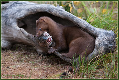 Mink 0976 (maguire33@verizon.net) Tags: minnesota model mink predator wildlifemodel