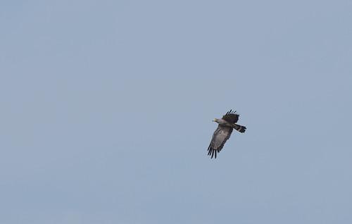 Afrikansk Klatrehøg, African Harrier Hawk, Wassu