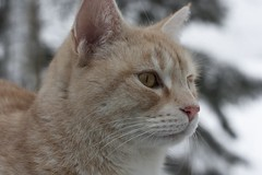 IMG_6844 (Siw Linda) Tags: trees winter orange snow cute animal forest cat eyes beige woods pretty january adorable whiskers mainecoon
