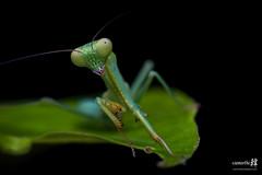 Macro Mantis-4310- (The Bonding Tool) Tags: macro mantis prayingmantis mantid macrophotography greenmantis macroinsingapore