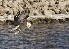 Adult Bald Eagle With Fish (AmyBaker0902) Tags: canon river mississippi eagle lock dam contemporary 14 bald sigma iowa leclaire 7d2 150600