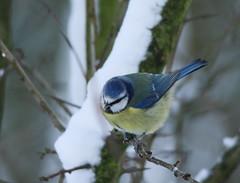 Blue Tits in the snow (themadbirdlady) Tags: snow bird bluetit passeriformes cyanistescaeruleus paridae sigma150500mm vanefarmrspb canoneos7dii