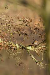Chardonneret lgant dans les aulnes (Richard Holding) Tags: bird goldfinch oiseau loiret cardueliscarduelis montargis chardonneret