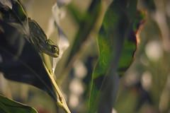 Chameleon on the Hunt (J.G.C. Photography) Tags: nature animal animals 50mm bush mediterranean dof reptile amphibian creature chameleon