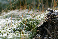Frosty Herbs (eric robb niven) Tags: plant walking scotland dundee outdoor perthshire frosty glen dunkeld birnam ericrobbniven