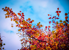 Fire tree (Vlad S. Ionita) Tags: wood morning blue roof red sky orange sun sunlight plant macro tree green nature up leaves lines sunshine weather contrast fire high colorful close natural cloudy outdoor top symmetry foliage clear made cover serene rays bliss leafs sunray