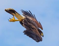 Hawk diving for food (sharp shooter2011) Tags: hawk diving birdsinflight hawkwatch raptors talons harrishawk avianphotography raptorsinflight hawksinflight birdinginthewild harrishawkinflight birdinginsandiego