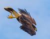 Hawk diving for food (sharp shooter2011) Tags: hawk hawkwatch birdsinflight raptors raptorsinflight avianphotography talons hawksinflight harrishawkinflight harrishawk birdinginsandiego diving birdsofprey