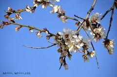 Flors (Marcel Marsal) Tags: colors flor cel natura arbres blau blanc flors vegetaci occidental terrassa silenci branques hivern 2016 valls tranquilitat