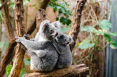 Koala Family (Mathias Appel) Tags: family baby tree cute animal animals fur zoo tiere eyes furry klein slow small familie mother adorable lazy koala augen tierpark marsupial mutter baum fell tier faul niedlich jungtier pelzig langsam beuteltier