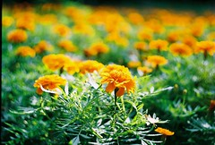 Sunny Flowers (mary.ovch) Tags: summer orange green film nature russia zenit