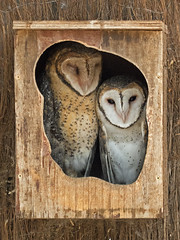 Best Buddies (brentflynn76) Tags: cute nature birds animal zoo nest wildlife pair australia owl aviary owls avian