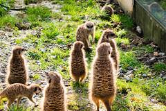 Zoo_Kln-7 (dietmar_schubert2003) Tags: zoo tiere kln erdmnnchen zootiere