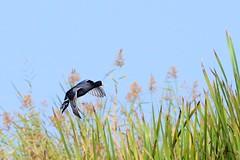 Eurasian Coot (pallab seth) Tags: india colour bird nature landscape asia southeastasia migratory habitat tropics wetland ecotourism westbengal fulicaatra eurasiancoot riverteesta nikond7000 tamronspaf70300mmf456divcusdlens gajoldobabarrage gajaldoba
