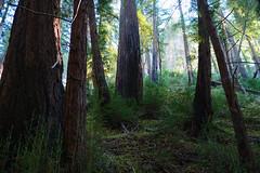 Redwood Grove - Big Sur, CA (23_MM) Tags: ca bigsur redwoods fujixpro1 fujixf23mmf14r