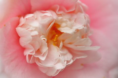 the heart of the flower (Kristen Fletcher Photography) Tags: pink flowers camelias petals blossom blooms pacificgrove