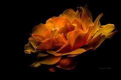 Flame (jeanmarie's photography) Tags: summer orange plant flower color nature rose blackbackground garden dark outside outdoors flora nikon jeanmarie jeanmariesphotography jeanmarieshelton