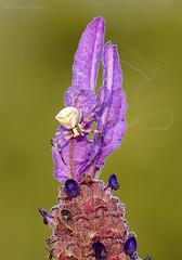 Telaraña al viento (Maite Mojica) Tags: flor araña cangrejo telaraña lavandula thomisus arácnido onustus stoechas artrópodo cantueso